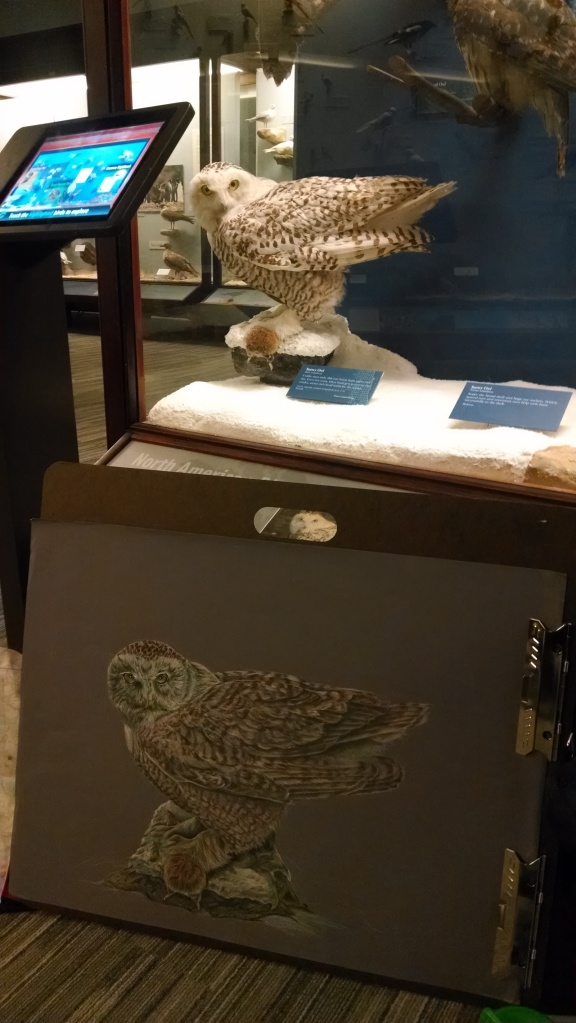 Snowy owl with mount in exhibit case.