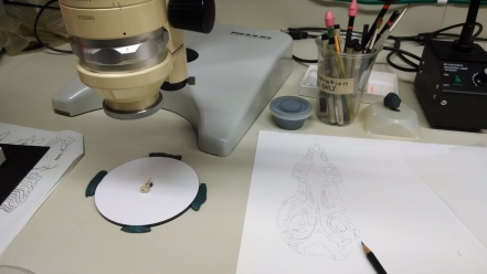 Crocidura monax specimen under a camera lucida microscope with the illustration on the right.