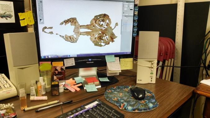 My Computer and desk where I do all my Photoshop work.  Photo manipulation of a Crocidura skull specimen.