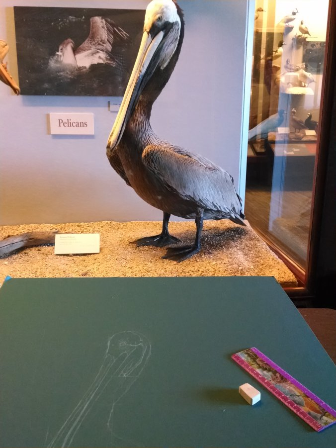 Drawing the brown pelican in the exhibit with the pelican mount.