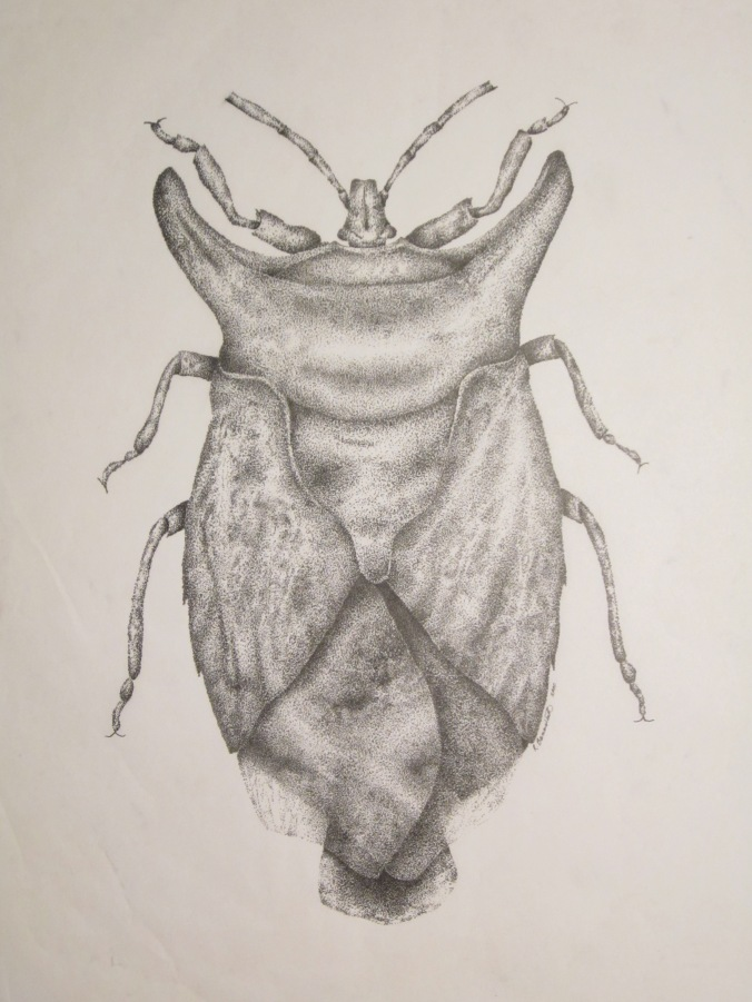 Beetle, ink stipple on vellum, 11x17. Copyright Rebe Banasiak, The Brush Hilt and Banasiak Art Gallery.