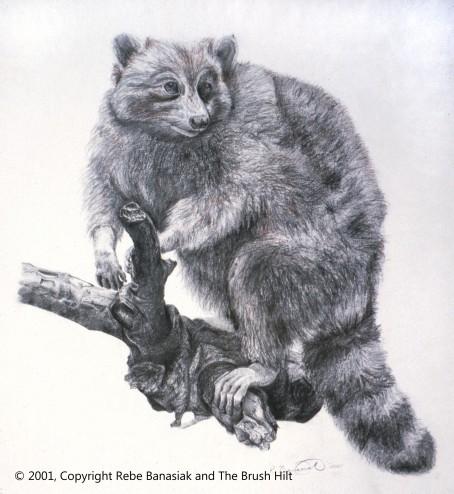 Raccoon, 2001, graphite on paper.
