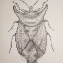 "Bug, 2000, Ink on vellum, 11""x17"". Copyright Rebe Banasiak, The Brush Hilt and Banasiak Art Gallery."
