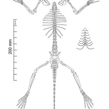 FMNH 178079 Sciurus carolinensis skeleton. 2013. Copyright Rebe Banasiak, The Brush Hilt and Banasiak Art Gallery.