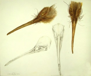 Kiwi Head and Skull Study, 2000, Watercolor on paper, 14x17. Copyright Rebe Banasiak, The Brush Hilt and Banasiak Art Gallery.