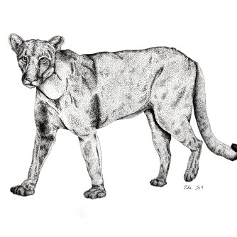 "Florida Panther (Cougar), 2019, Ink on vellum, 11""x17"". Copyright Rebe Banasiak, The Brush Hilt and Banasiak Art Gallery."