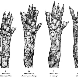 "Hylomyscus hind foot comparisons, 2019, Ink on vellum, 11""x17"". Copyright Rebe Banasiak, The Brush Hilt and Banasiak Art Gallery."